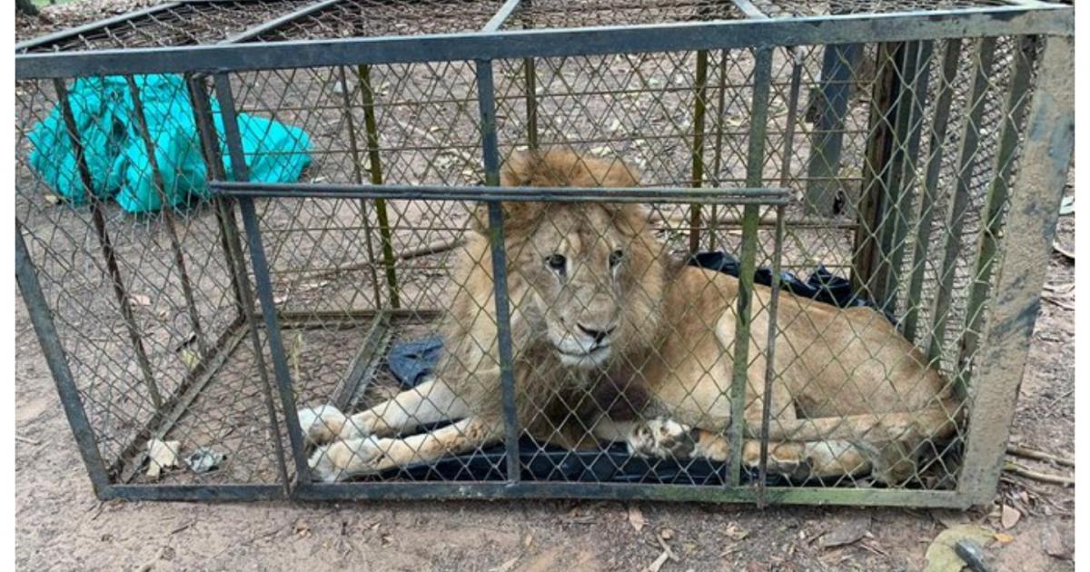 Júpiter, el león encontrado en mal estado, regresa con su amada cuidadora